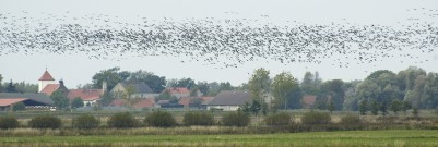 Geese at West Havelland
