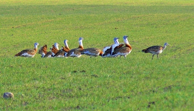 Great Bustards Brandenburg