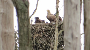 Young White-tailed Eagles (Jorg Mohnhaupt)