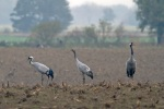 Common-Crane-family_w4730[1]