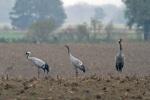 Common-Crane-family_w4730[1]