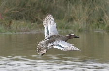 Garganey22mar06Frome