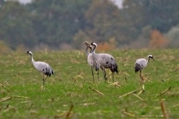 Common-Cranes_4525[1]
