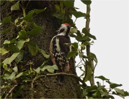 MS Woodpecker