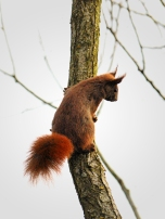 Red Squirrel at Belzig 3110