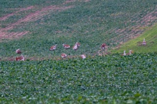 Great-Bustard-flock-Germany_4496[1]